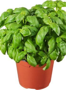 Basilic Grand Pot